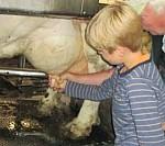 Kind mit Kuh Schüler hält Kuheuter in der Hand